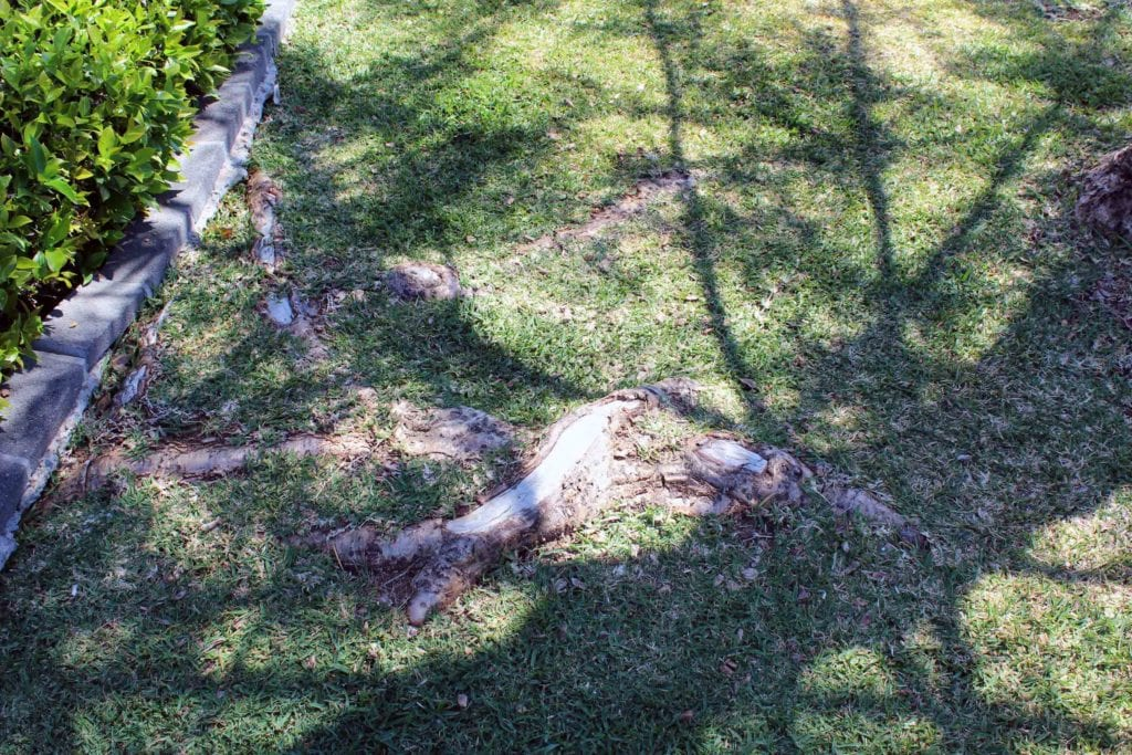 root removal of surface roots