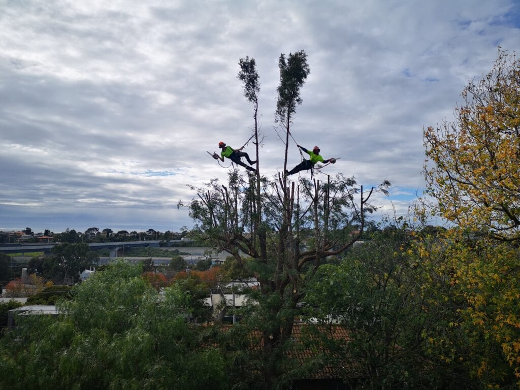 two arborist climbers removing a large tree