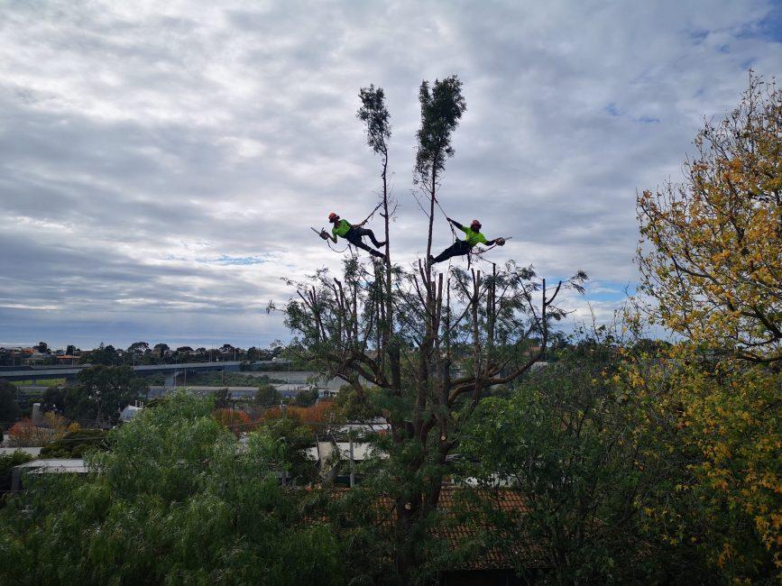 arborists pruning tree service