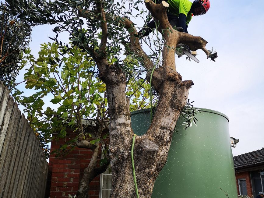 Arborist Climber removing an olive tree removal